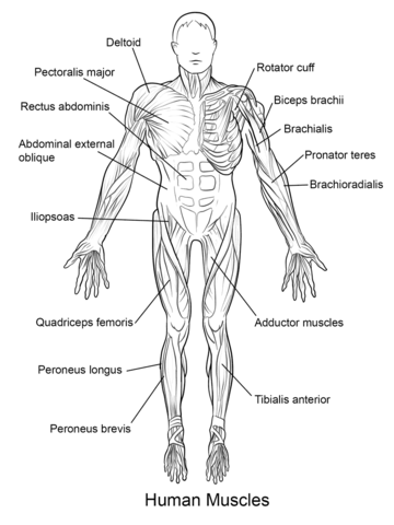 Human Muscles Front View Coloring Page From Anatomy Category Select From 24661 Printabl Human Muscle Anatomy Anatomy Coloring Book Anatomy And Physiology Quiz