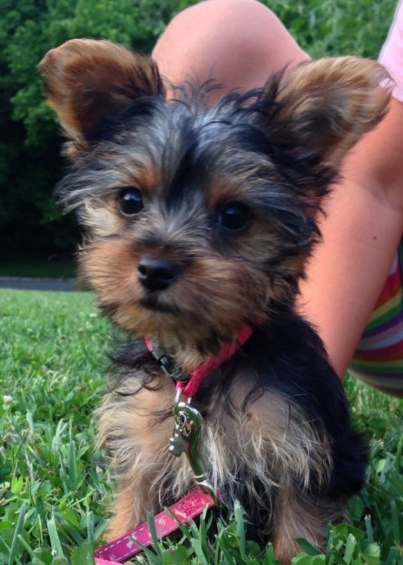 After Owning Big Dogs My Whole Life Yorkie Puppy Care Puppies And Kitties Big Dogs