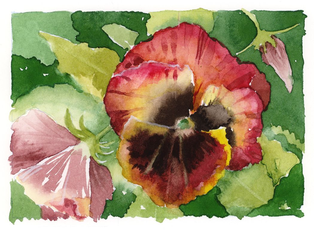 Jake Marshall watercolor. A study of reddish brown pansies in the garden.