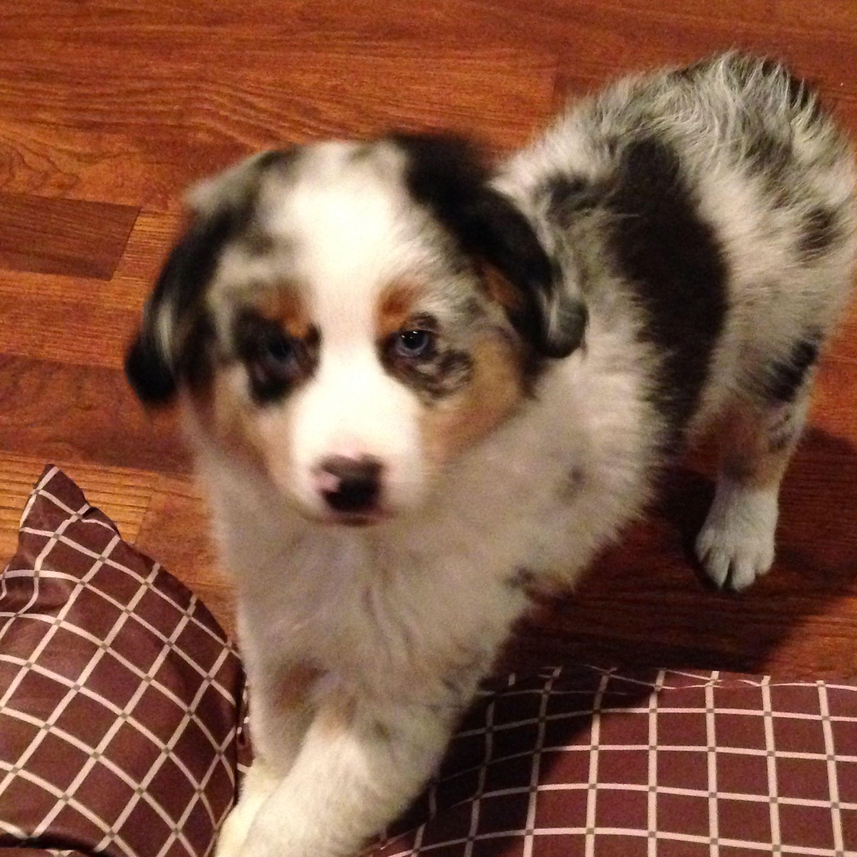 My New Mini Aussie Puppy Ozzy Shetland Sheepdog Sheep Dog Puppy Sheepdog