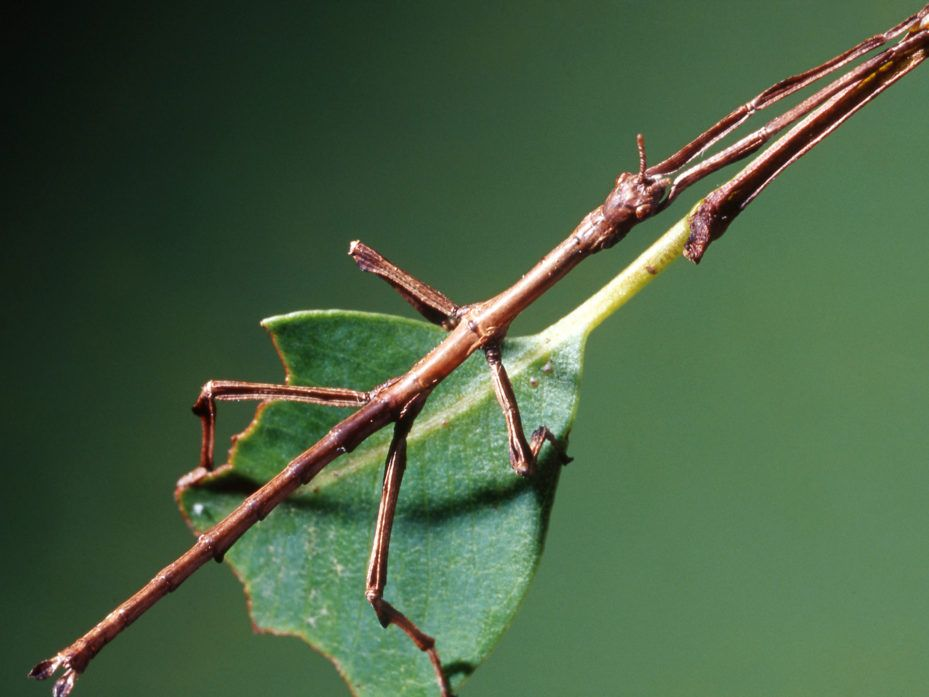What Gives With Insects Pretending To Be Sticks And Leaves Walking Stick Insect Stick Insect Insects