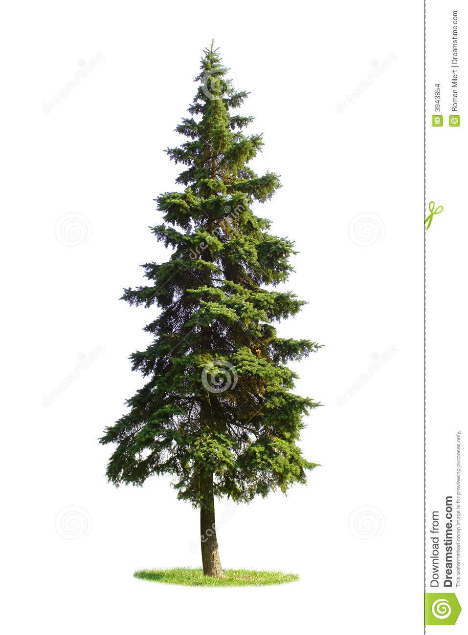 Spruce trees google search pencil drawings pinterest spruce trees google search pencil drawings pinterest spruce tree biocorpaavc Image collections
