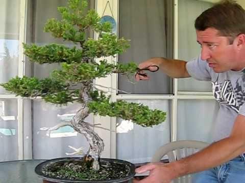 How To Prune A Bonsai Tree Bonsai Tree Juniper Bonsai Bonsai Tree Care
