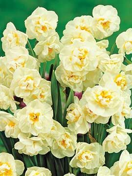 Daffodil, Bridal Crown