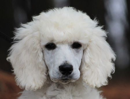 67 Ice S White No Polish Male Standard Poodle Puppy Chiot