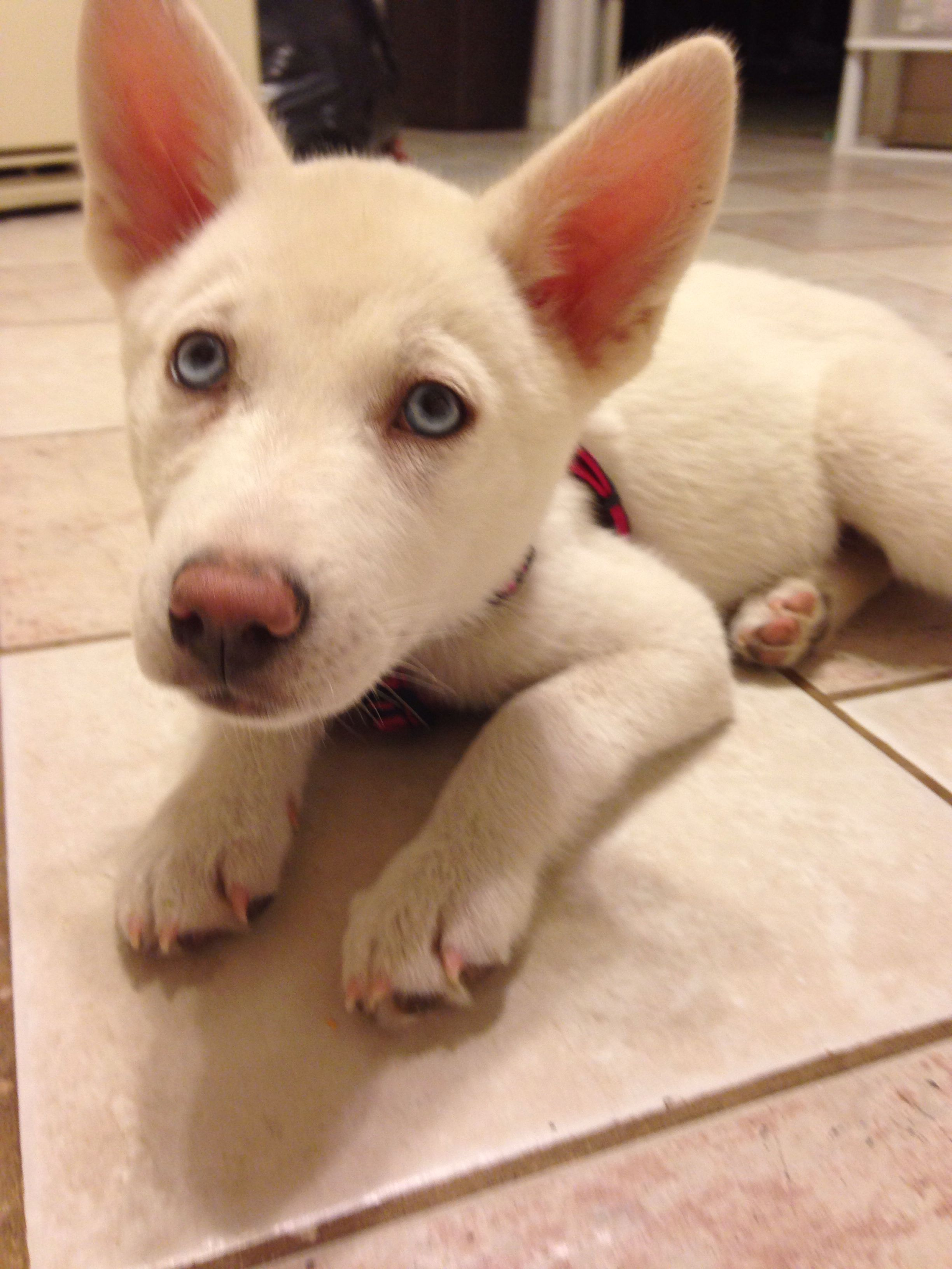 Blue eyed husky puppy blue eyed husky puppy husky with