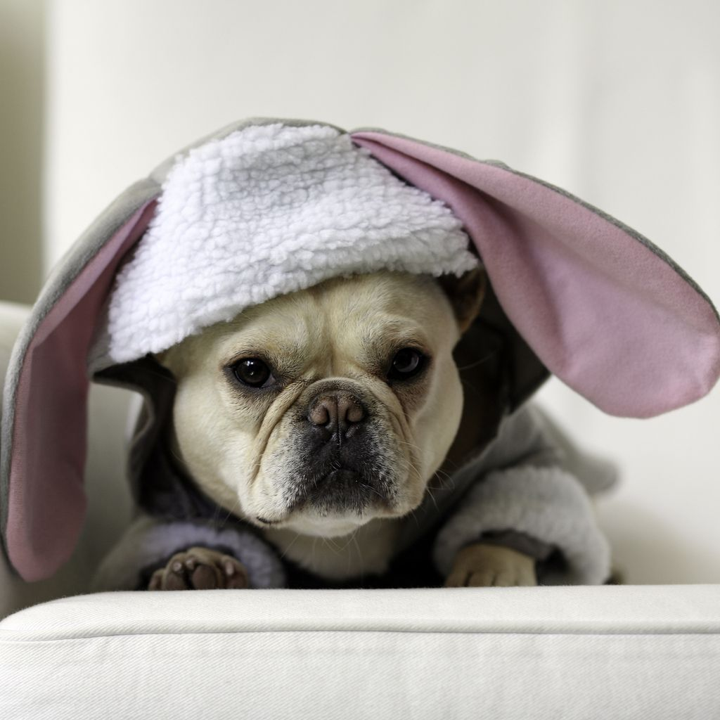 easter French bulldog pictures, French bulldog