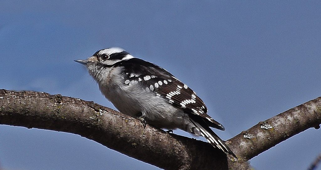 Downy Woodpecker -  Renata | Flickr - Photo Sharing!