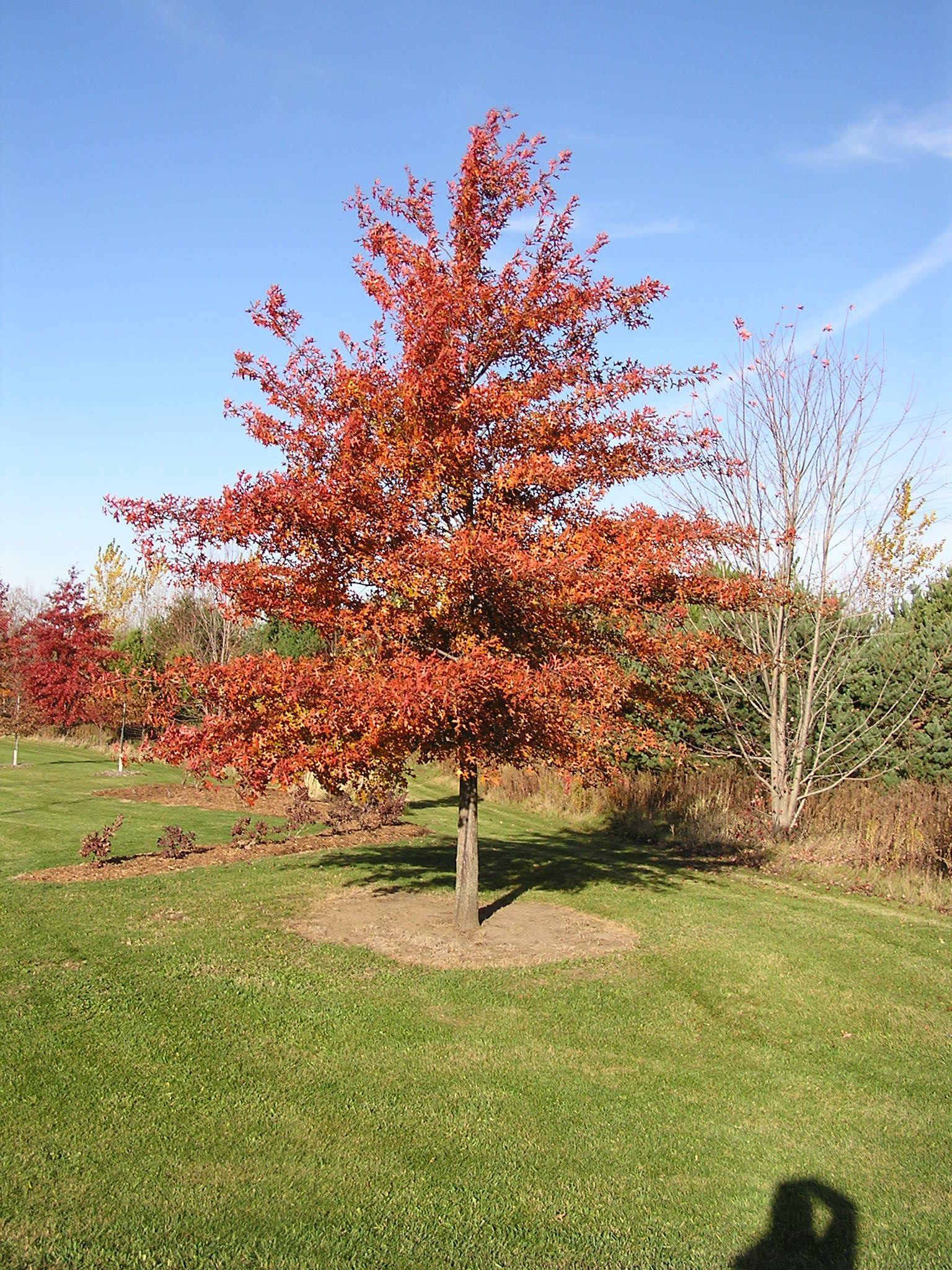 Northern Pin Oak Tree Fall Colors Google Search