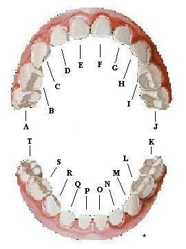 Baby Tooth Chart  Teeth    Diagram