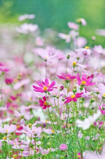 Cosmos Blumen Stauden Blumen Fotografie Blumen Wiese