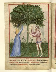 Nouvelle acquisition latine 1673, fol. 15v, Récolte des cédrats. Tacuinum sanitatis, Milano or Pavie (Italy), 1390-1400.