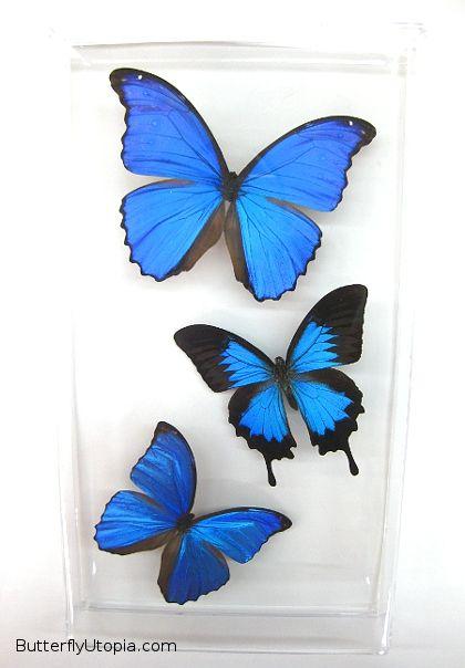 blue butterflies 529 blue butterflies 2jpg - Color Butterfly 2
