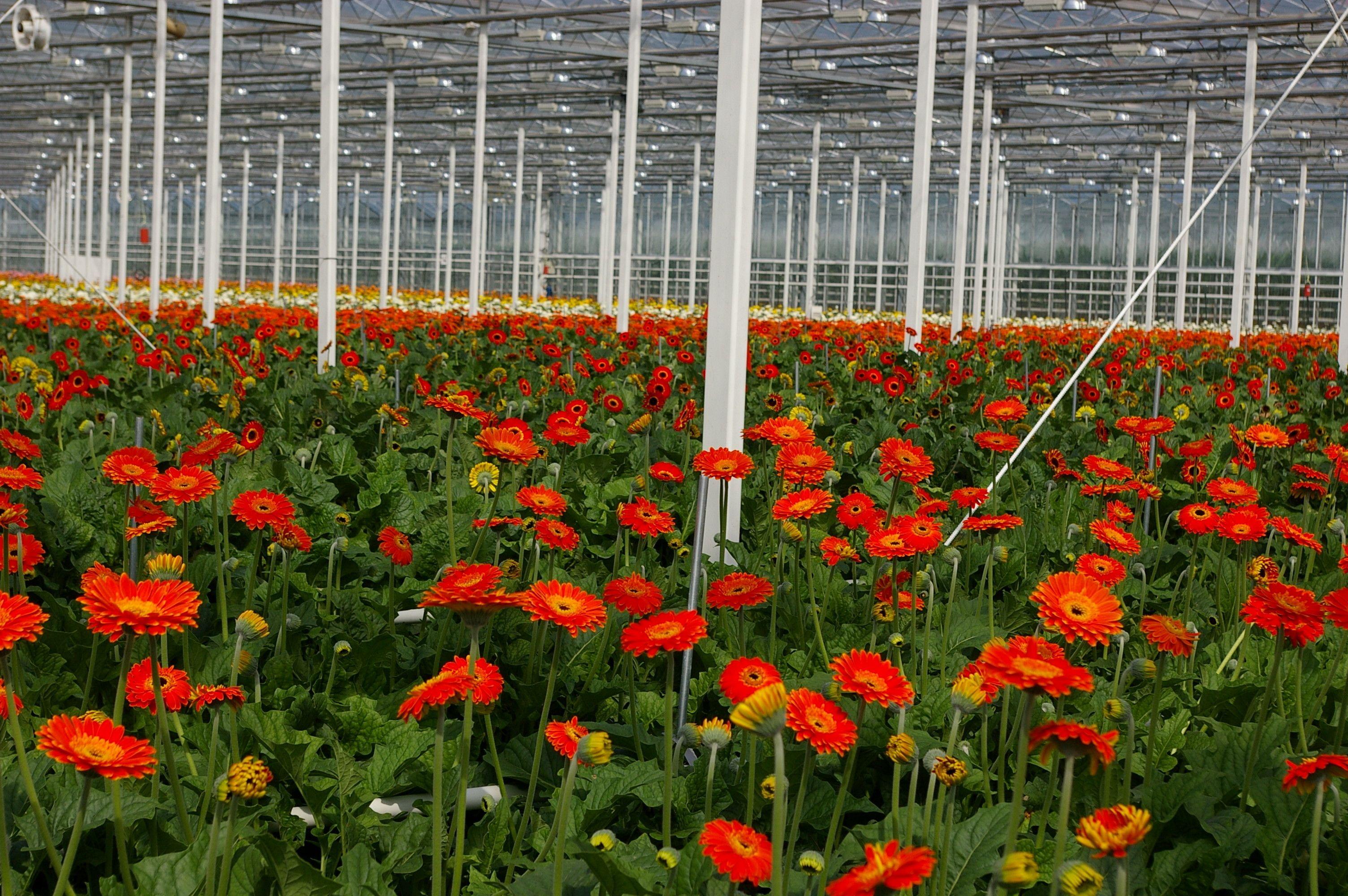 Gerbera Gerbera Outdoor Structures Plants
