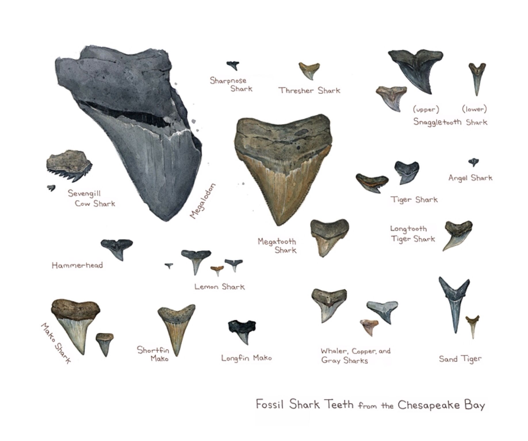 small resolution of sharks teeth identification chart