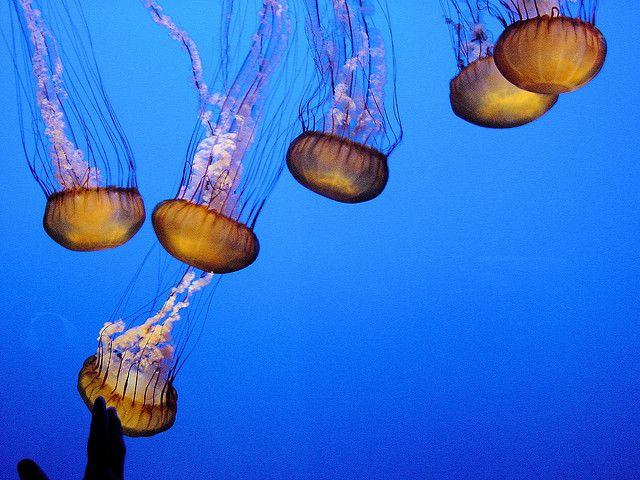 "DSC00268, Sea Nettle (""Chrysaora Fuscescens""), Monterey Bay Aquarium, Monterey, California, USA by jimg944, via Flickr"
