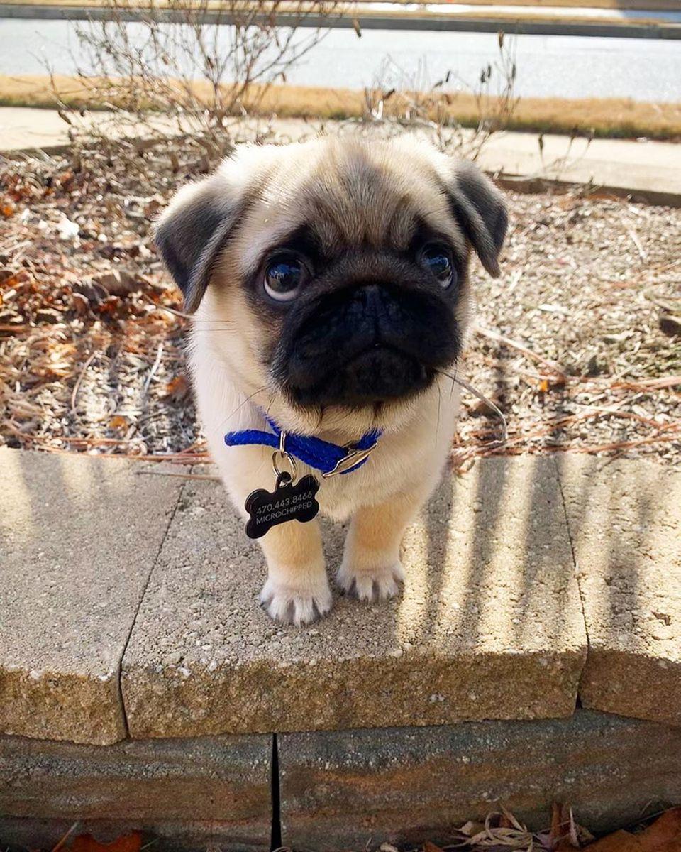 Cute Pugs By Jocelyn White On Puppy Love In 2020 Cute Little