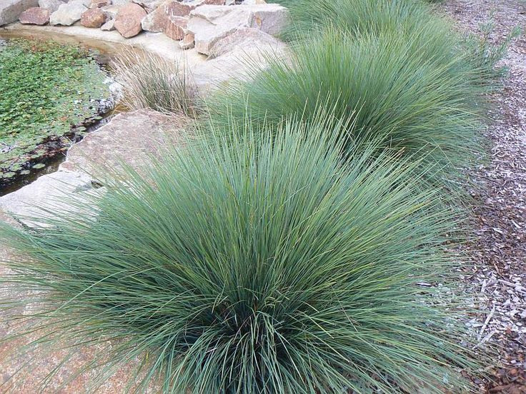 Lomandra Quot Tanika Quot Native Plant To Be Planted In Mass
