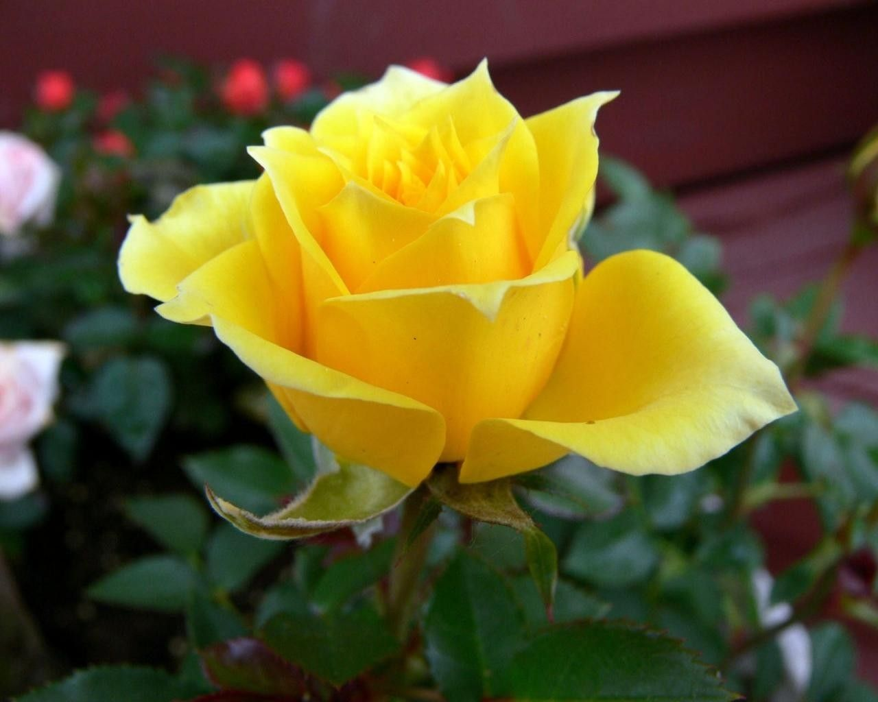 Yellow roses flowers meaning flower meanings pictures and photos yellow roses flowers meaning flower meanings pictures and photos mightylinksfo