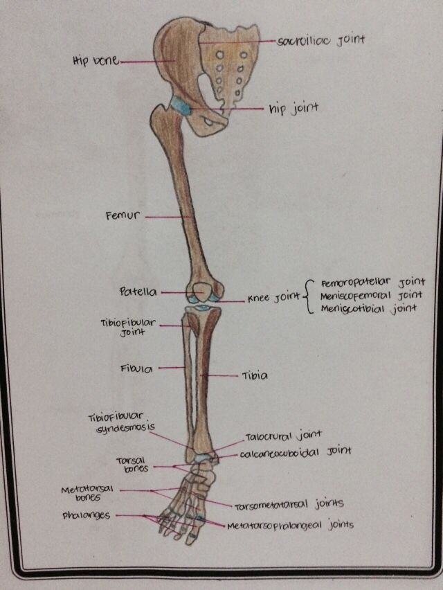 Lower appendicular skeleton | General Anatomy | Pinterest ...