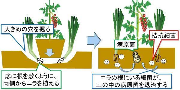 コンパニオンプランツを植えて 無農薬で家庭菜園を行う 家庭菜園