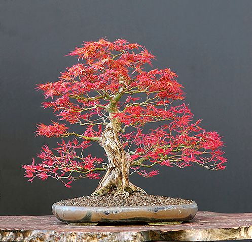 1000 images about bonsai on pinterest red maple bonsai bonsai trees and juniper bonsai bought bonsai tree