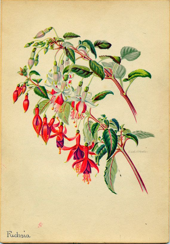 Fuchsia Vintage Illustration by Edith Johnston by stillknitting, $6.00