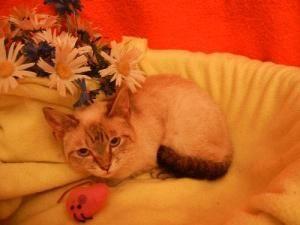 Downy Siamese Cat Atlanta Ga Cats Siamese Cats Animal Control