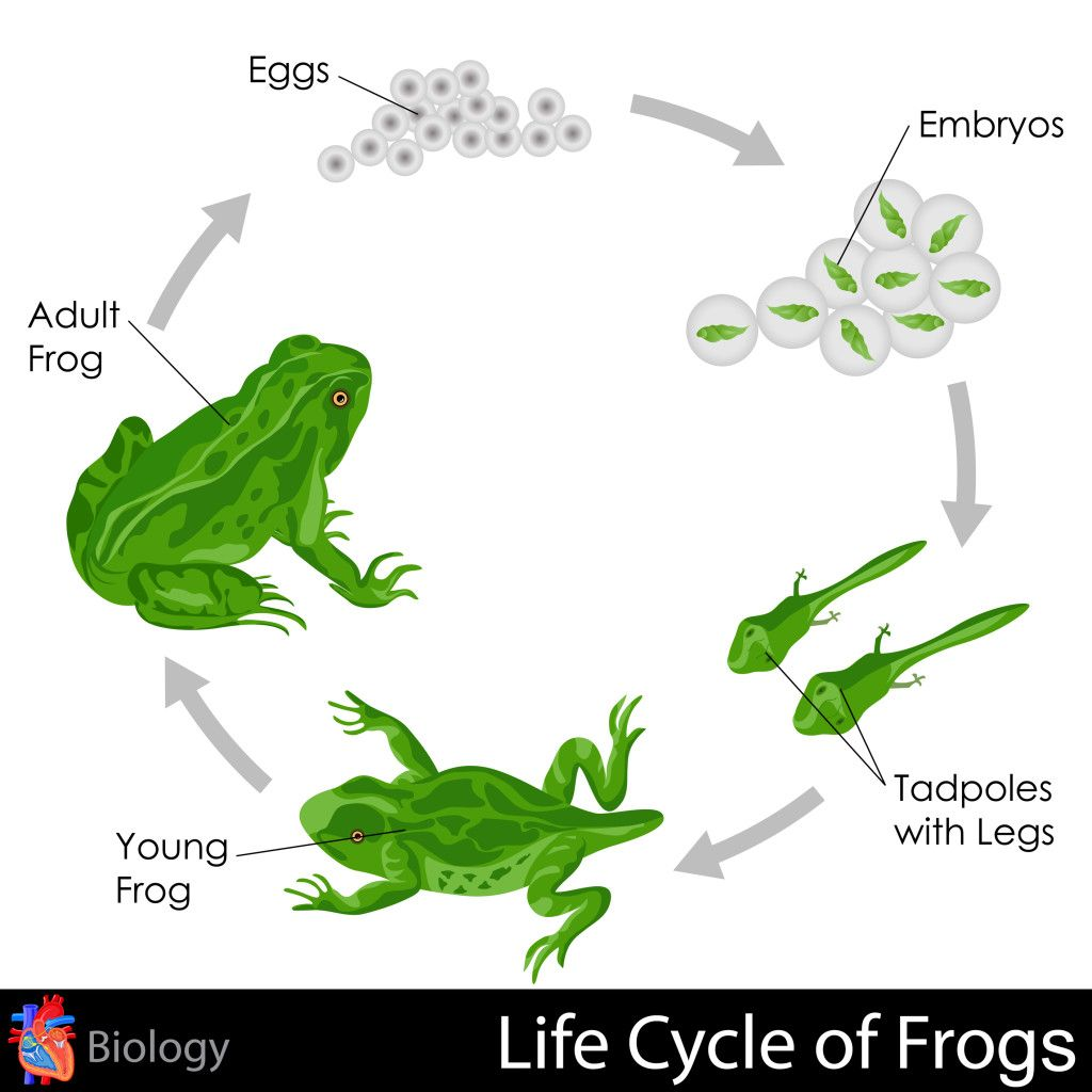 Life Cycle Of Frogs With Images Life Cycles Lifecycle Of A