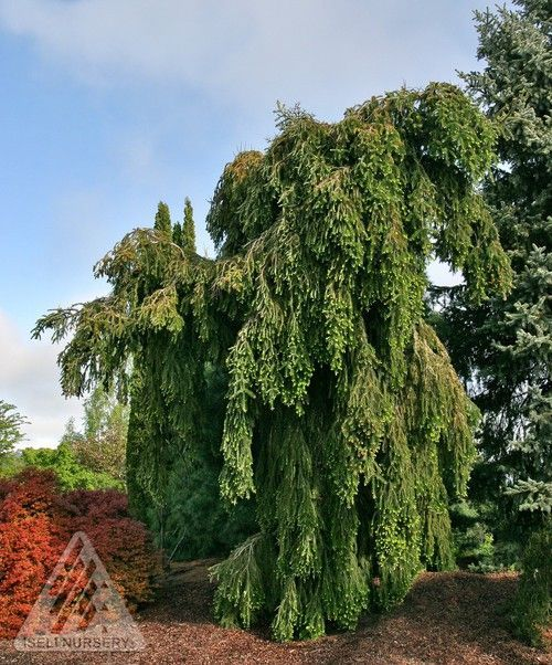Abies alba ' Green Spiral ' Weeping Silver Fir