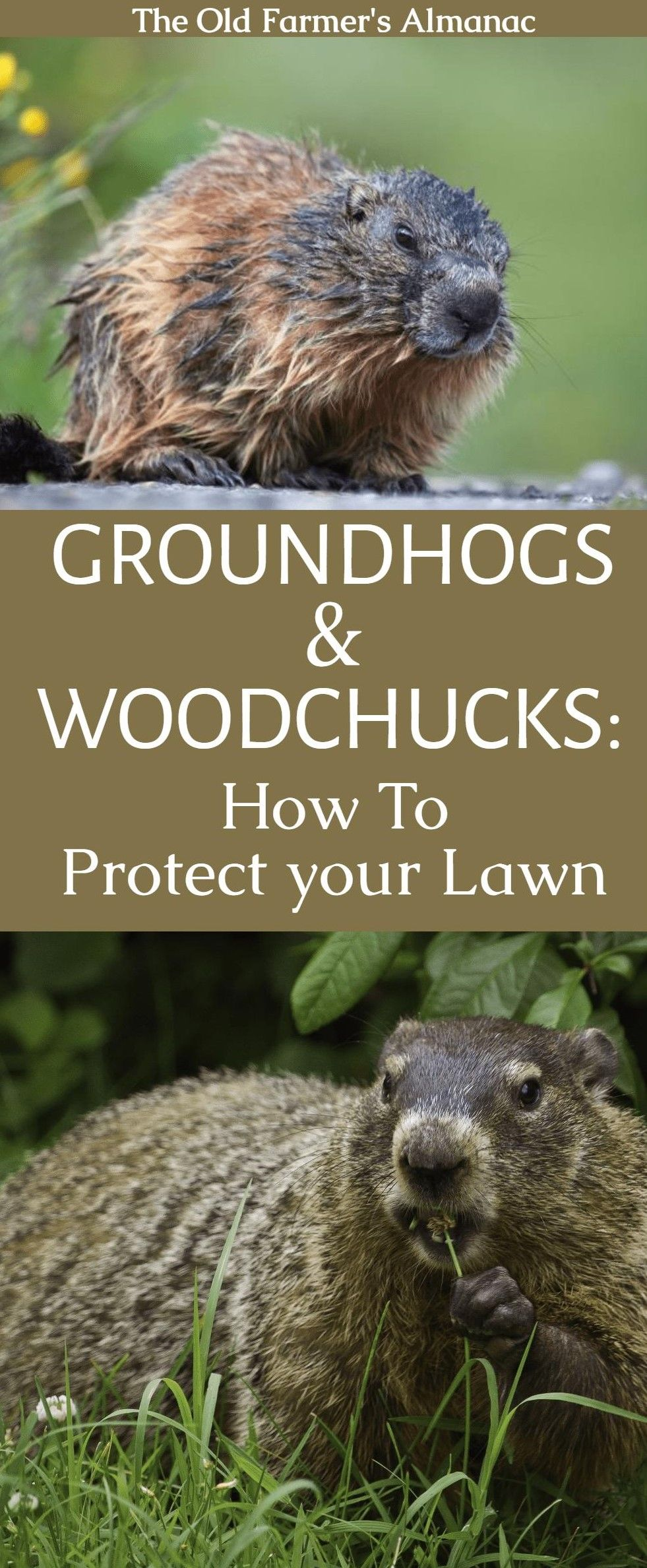 woodchucks or groundhogs gardens farmers almanac and old