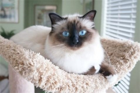 Forhim Birmans Cats On The Show Circuit Prospect Ky Birman Cat Cats Cats And Kittens