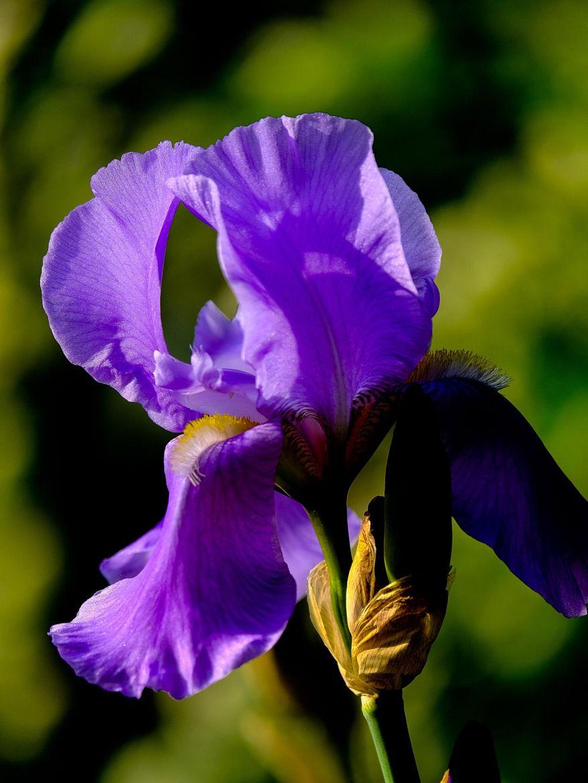 Purple Iris Purple Iris Iris Flower Pictures Iris Flowers