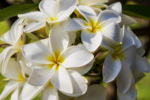 Plumeria Common Name Frangipani Maui Hawaii Starting At 27 Plumeria Flowers Are Most Fragrant At Night In Order To Lure Sphinx Moths To Pollinate Them