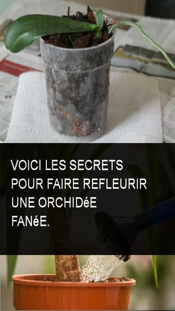 voici les secrets pour faire refleurir une orchid e fan e. Black Bedroom Furniture Sets. Home Design Ideas