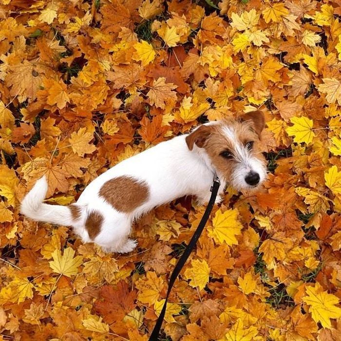 Fall colors #fox #terrier @yummypets