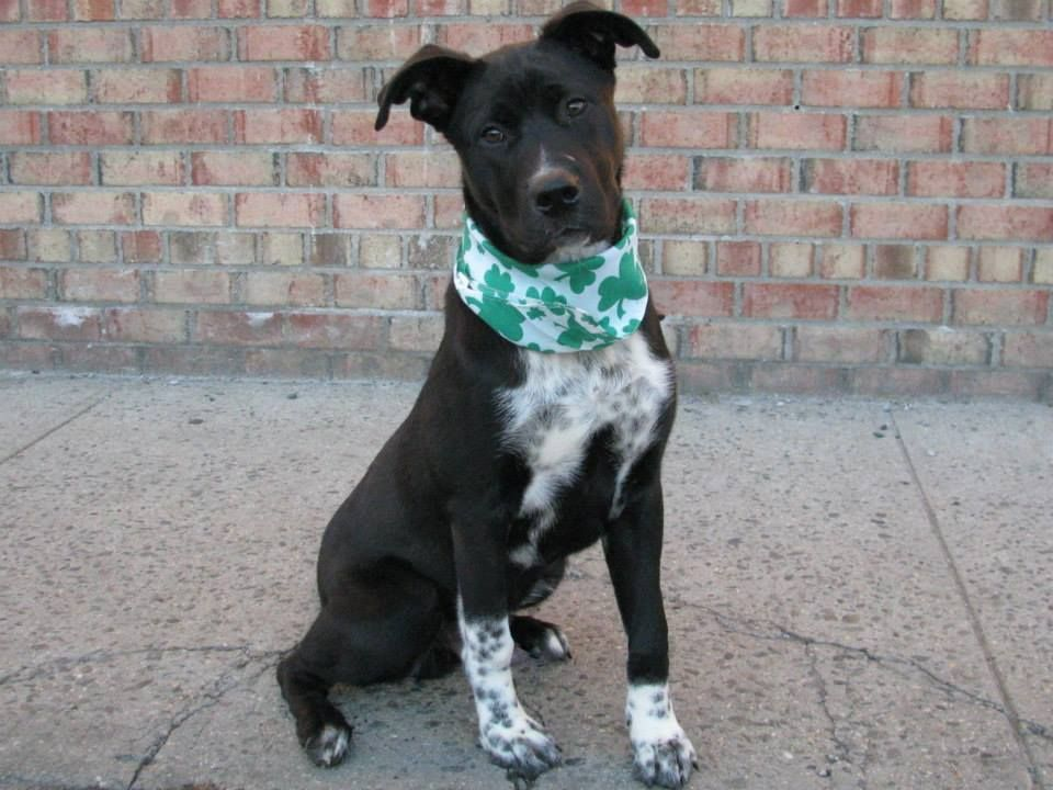 SAFE --- URGENT - Brooklyn Center    JAY - A0991333   MALE, BLACK / WHITE, PIT BULL / BORDER COLLIE, 8 mos  STRAY - ONHOLDHERE, HOLD FOR DOH-NHB Reason STRAY  Intake condition NONE Intake Date 02/08/2014, From NY 11436, DueOut Date https://www.facebook.com/photo.php?fbid=762636490415899&set=a.762636430415905.1073742997.152876678058553&type=3&theater