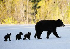 Mother black bear and three cubs, posted via loveforallbears.tumblr.com