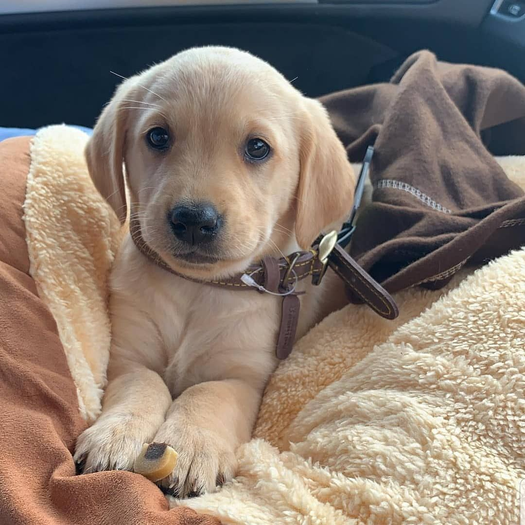 New Family Member Of Labrador Class Family Thanks For Sharing Your Photo By Telynofficial T Cute Dogs And Puppies Lab Puppies Puppies And Kitties