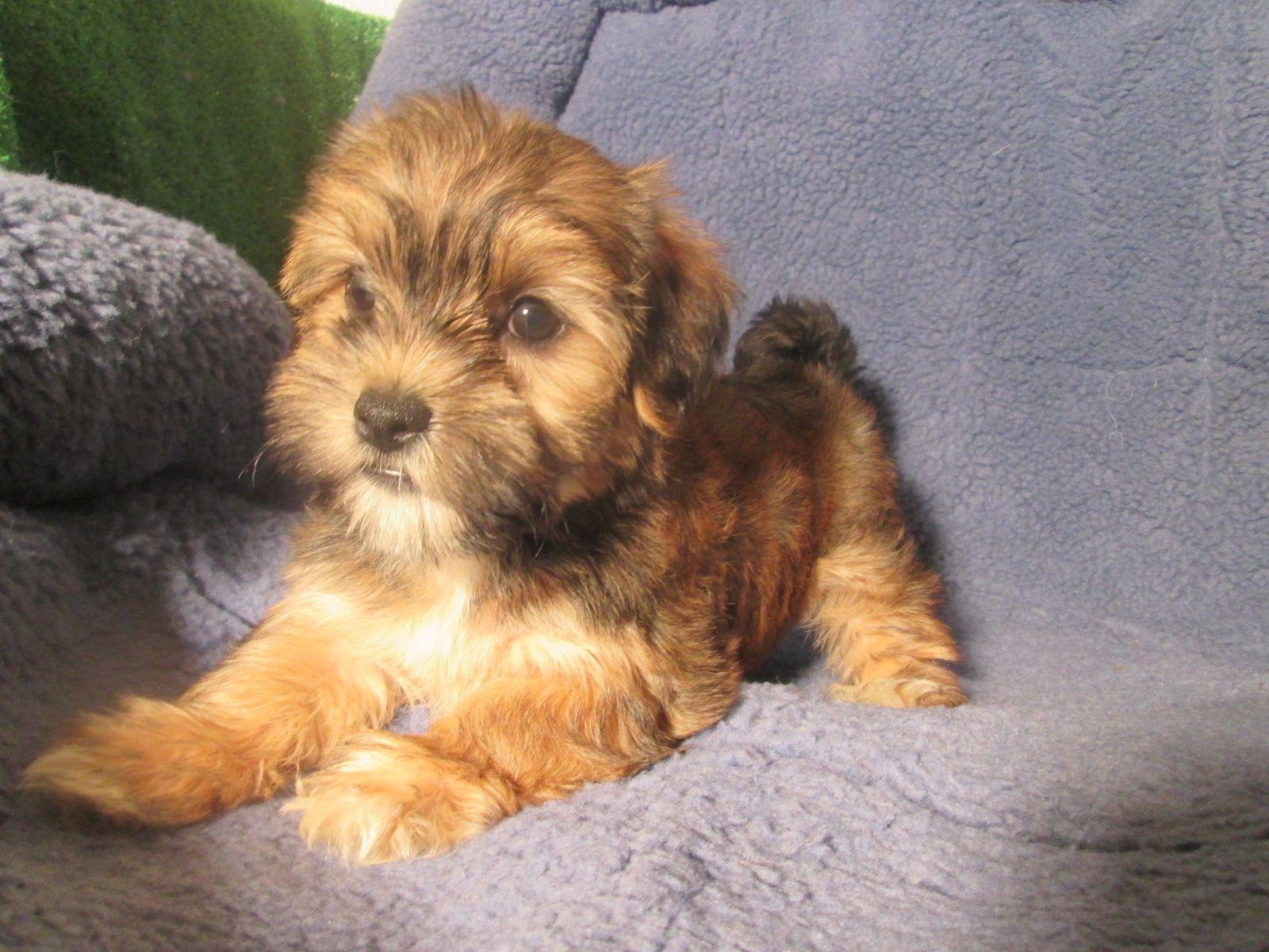 Adorable Yorkie Havanese Puppies Available! *8 12 weeks