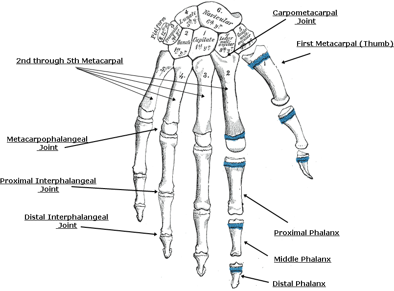 Admirable Labelled Diagram Of Bones And Joints Of Hand Wrist Wrist Anatomy Wiring Cloud Cosmuggs Outletorg