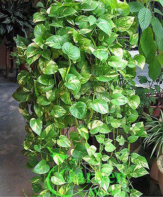 Superbe Pothos, Silver Vine, Money Plant Epipremnum Aureum   Garden World