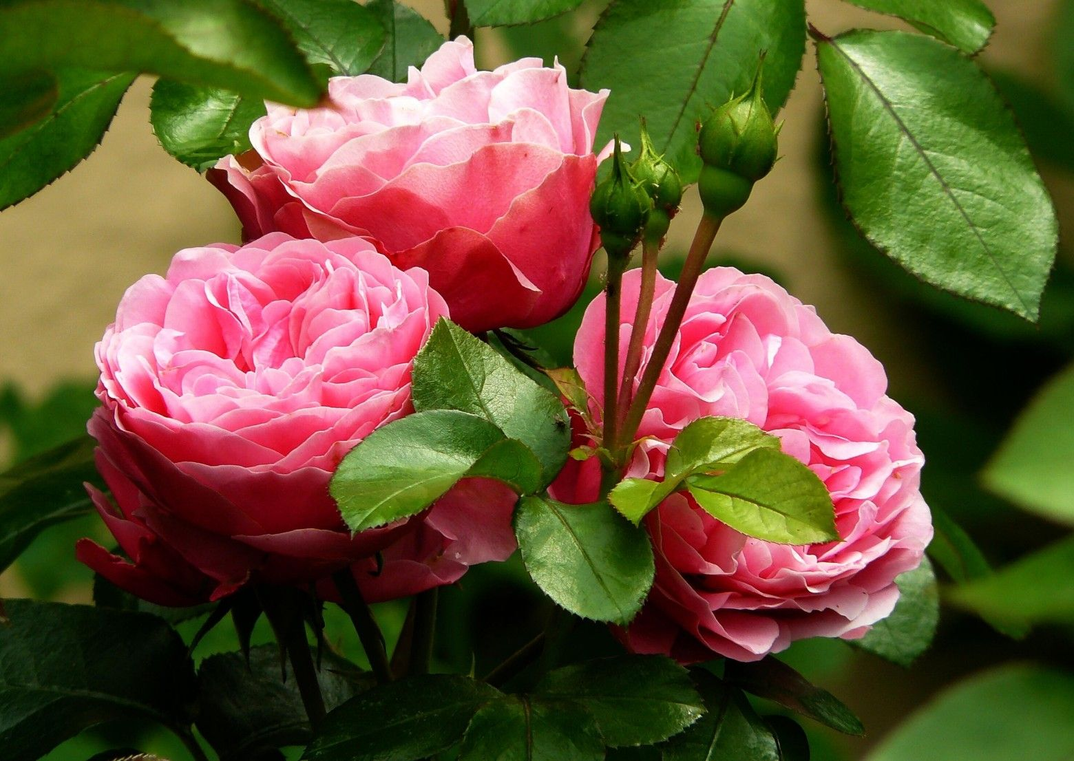 Super fleurs roses images photos gratuites | Fleurs Marie-Louise  TR68