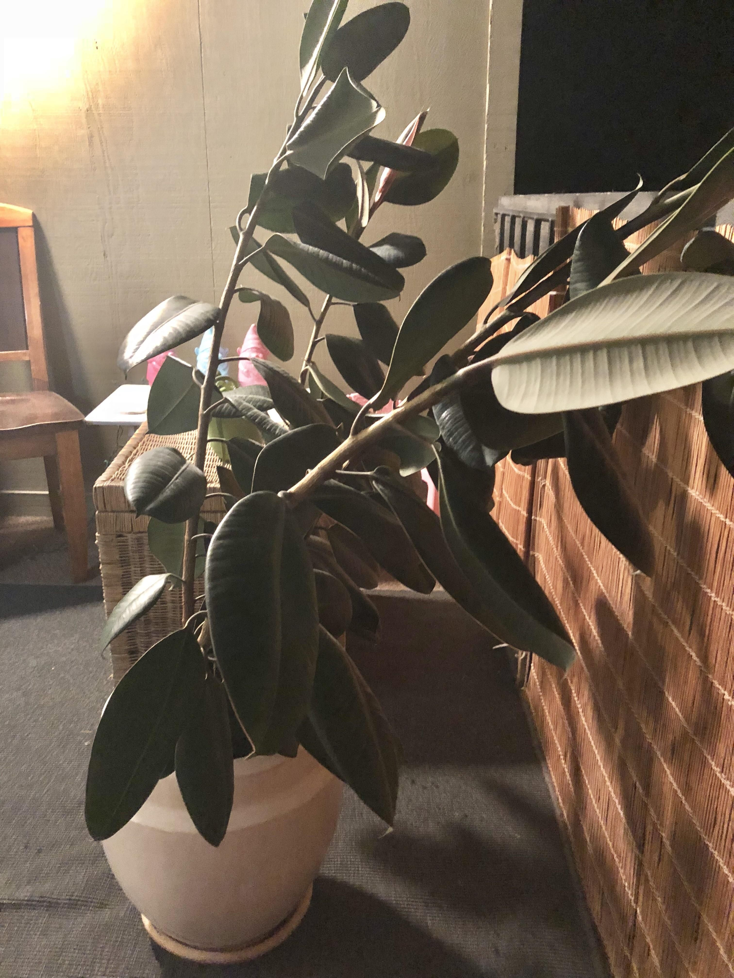 Droopy Rescued Rubber Tree Saved This Guy This Morning The Trunks Are Completely Droopy And 2 4 Nearly Touch The Ground Im S Rubber Tree Rubber Plant Plants