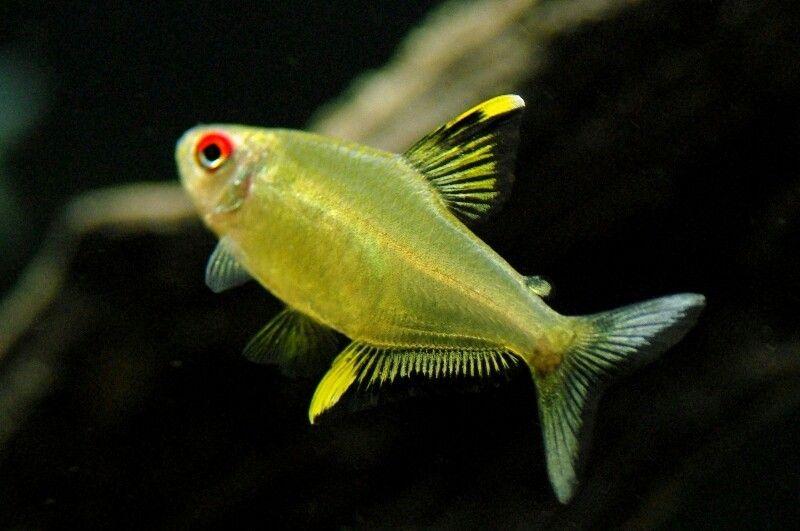 Lemon Tetra Tropical Fish Aquarium Tetra Fish Coldwater Fish