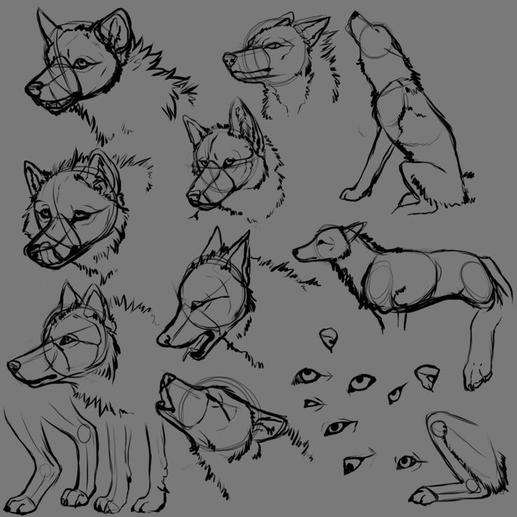 anatomia de la cabeza y torzo de un lobo | Drawing | Pinterest ...