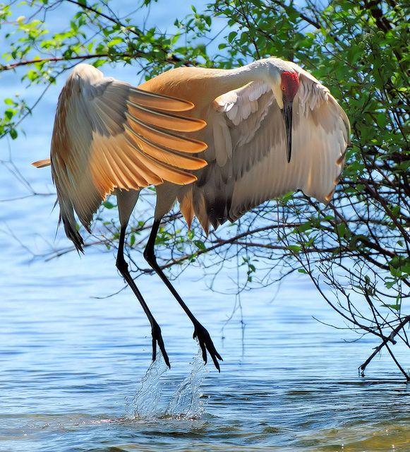Grus Canadensis Sandhill Crane Grue Du Canada Beaux Oiseaux Animaux Et Oiseaux Jolis Oiseaux