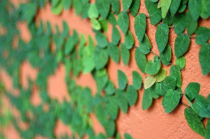 Best 25 enredaderas de crecimiento rapido ideas on pinterest clematis montana clematis - Plantas enredaderas de crecimiento rapido ...