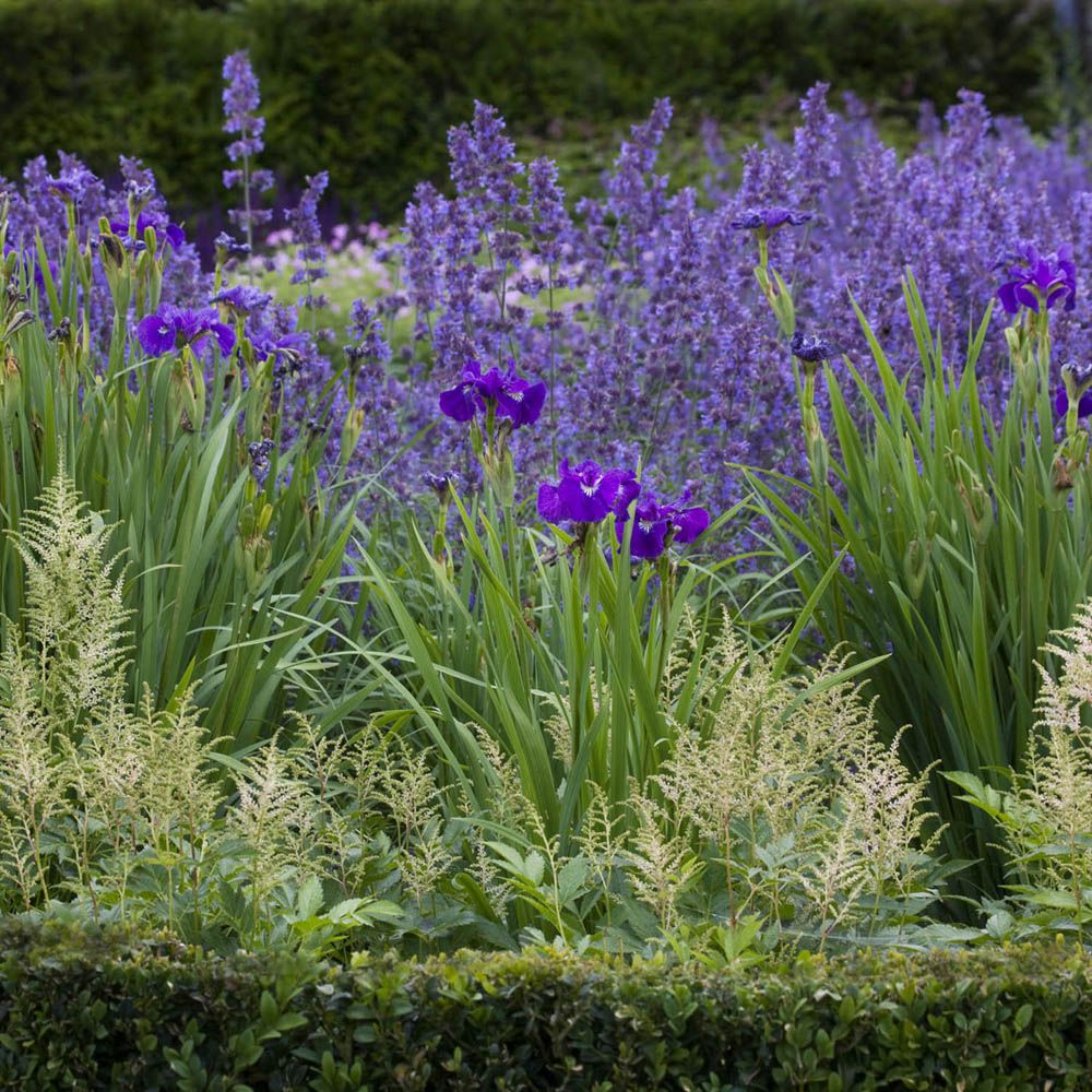 Astilbe Iris Ensata Nepeta Iris Garden Plant Combinations Plant Design