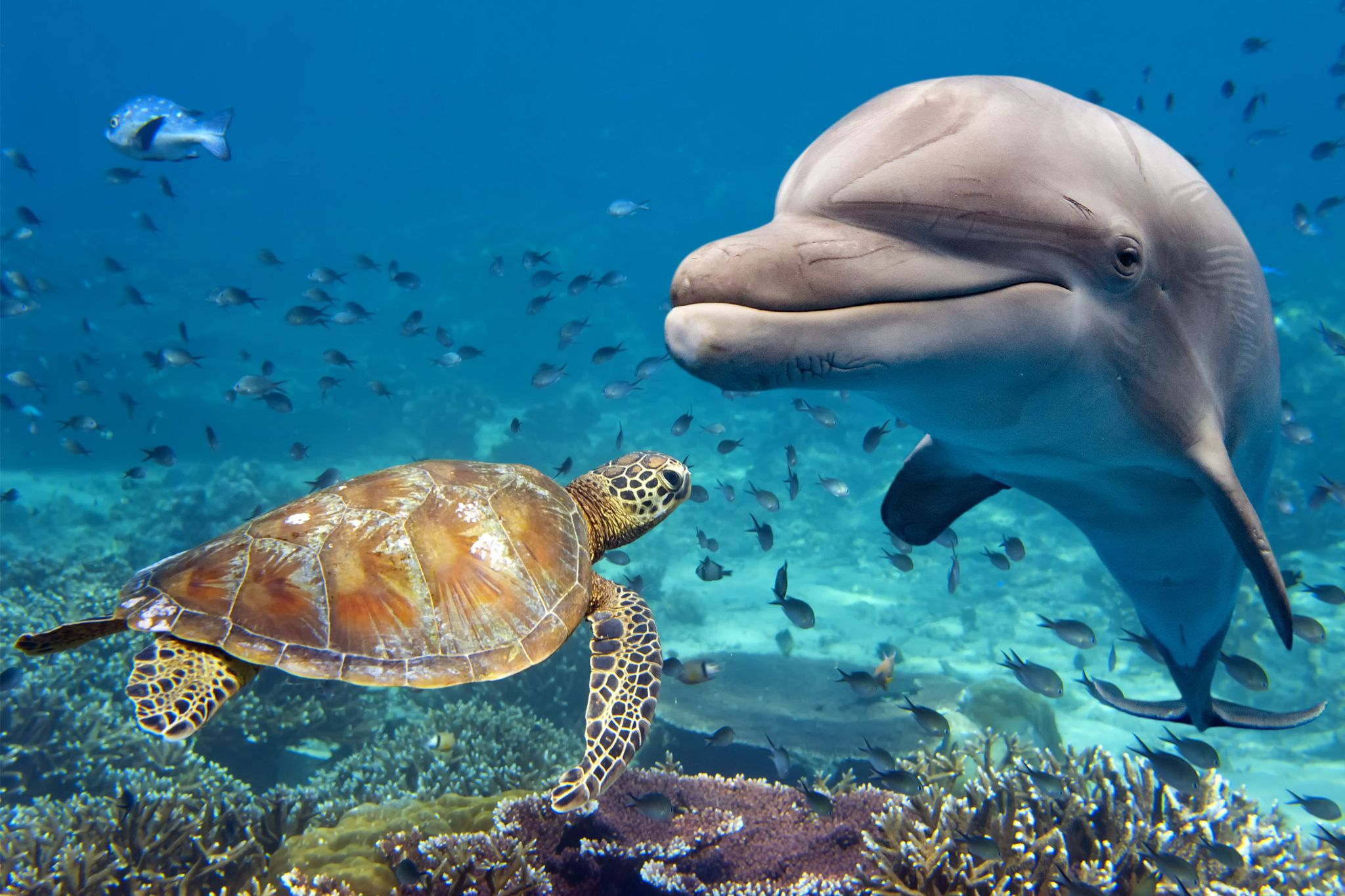 Dolphin and turtle dolphin and turtle underwater on reef